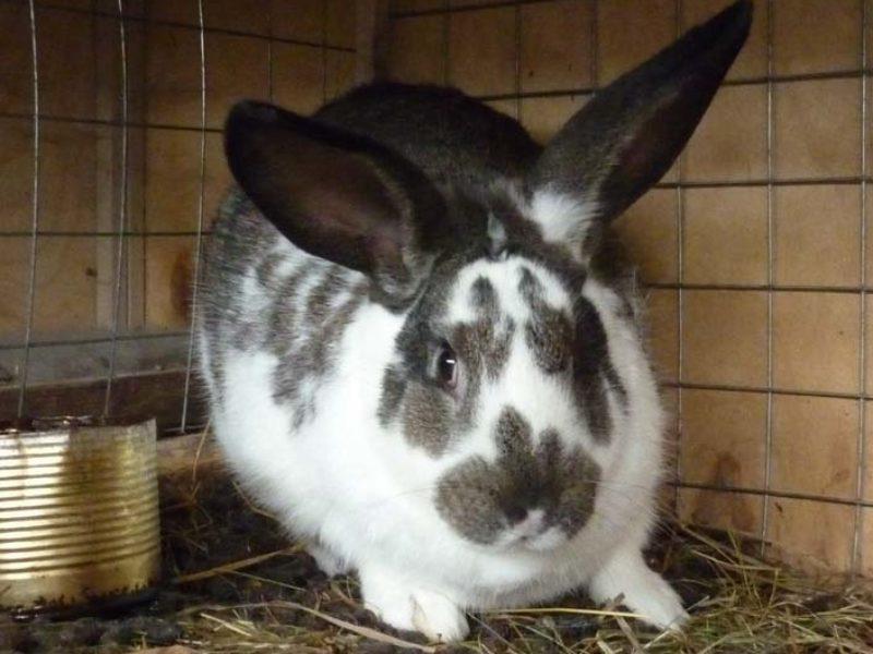 Болезни кроликов — симптомы и профилактика.