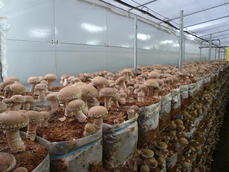 Вырастить грибы в домашних условиях 477