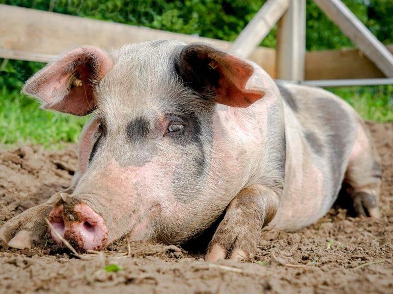 Сальные породы свиней