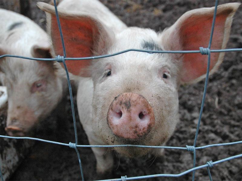 Беконное свиноводство
