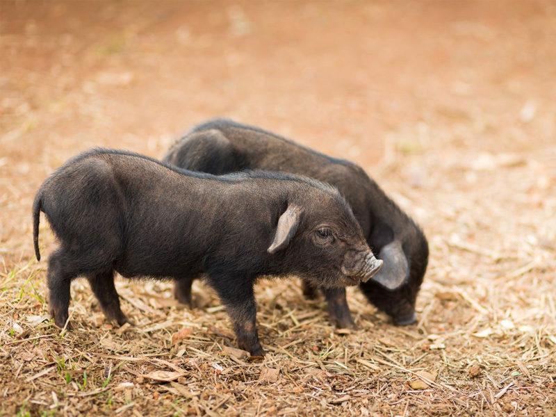 Кармалы – порода свиней