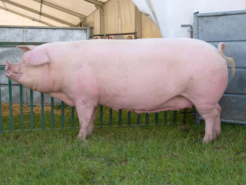 Ландрас – порода свиней. Характеристика