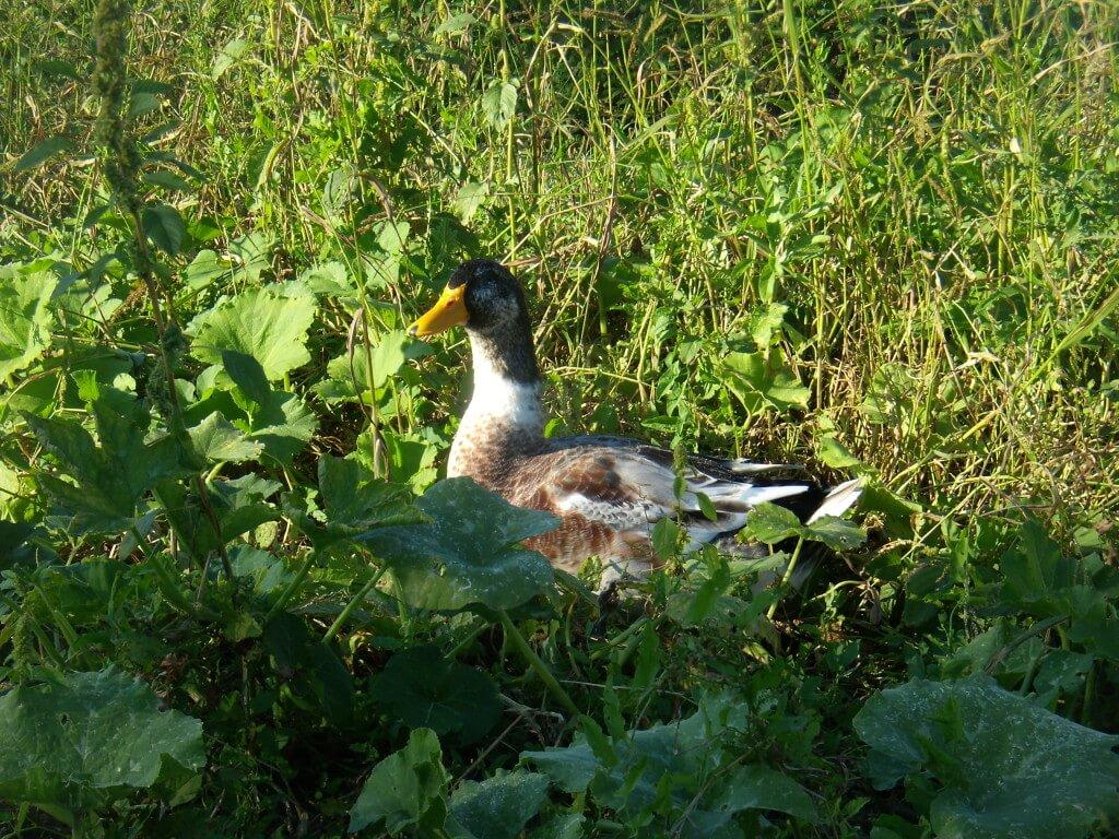 Селезень башкирской утки
