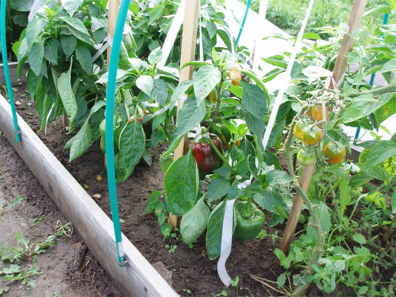 Когда сеять помидор и перец на рассаду для теплицы