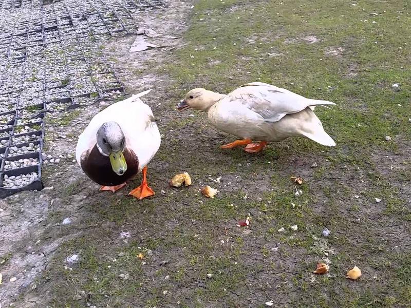 Чем кормить уток домашних на улице