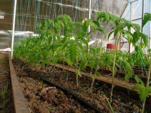 Высадка помидор в теплицу