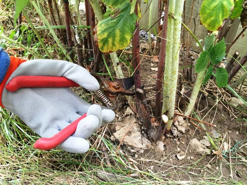 Как правильно посадить и обрезать малину весной для хорошего урожая