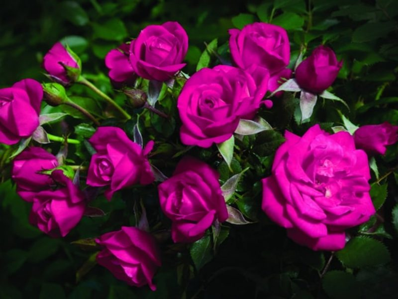 Как укоренить розы из букета