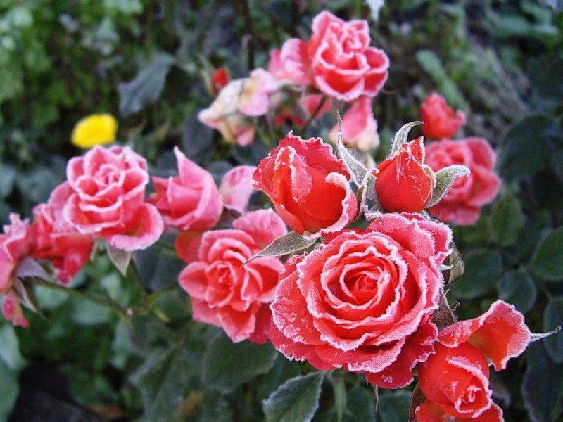 Обрезка и укрытие роз на зиму