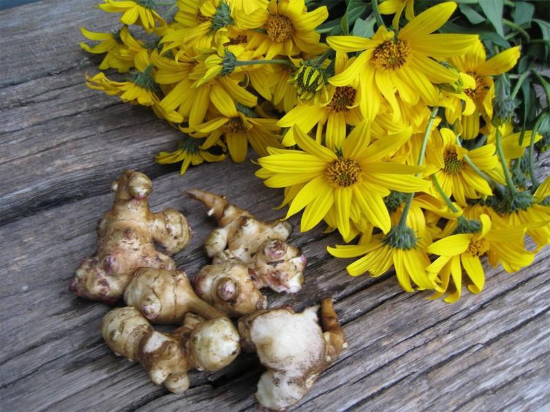Топинамбур – лекарство с огорода: выращивание и уход за растением