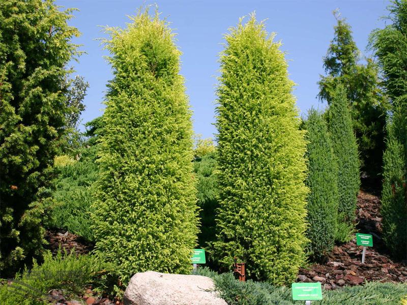 Хвойные растения: можжевельник и туя для сада: «Хиберник» обыкновенный