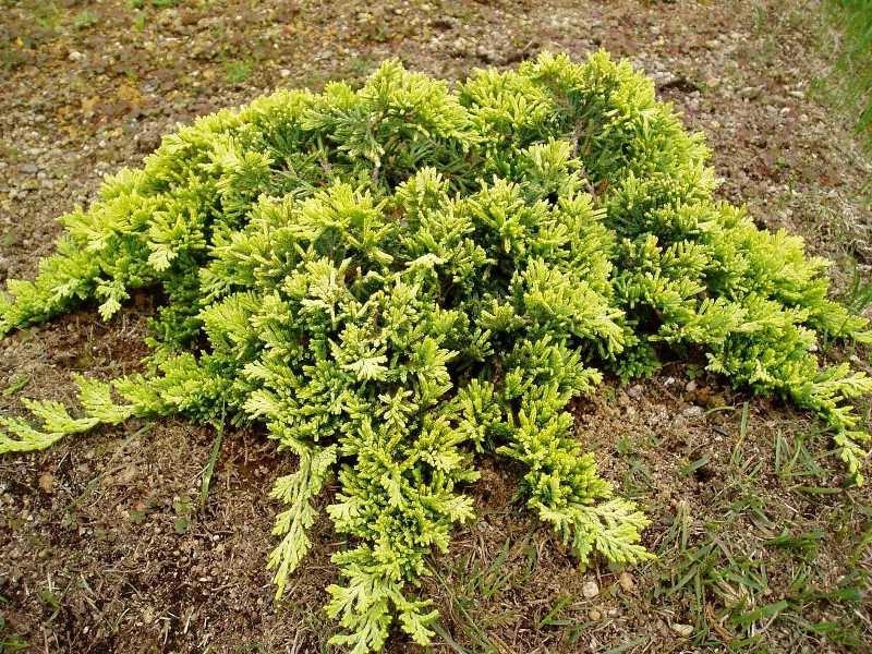 Хвойные растения: можжевельник и туя для сада: можжевельник горизонтальный западный «Голден Карпет».