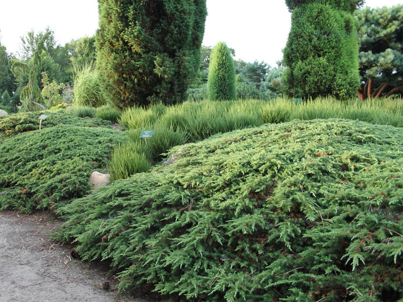 Хвойные растения: можжевельник и туя для сада: можжевельник западный «Микробиота перекрестнопарная»