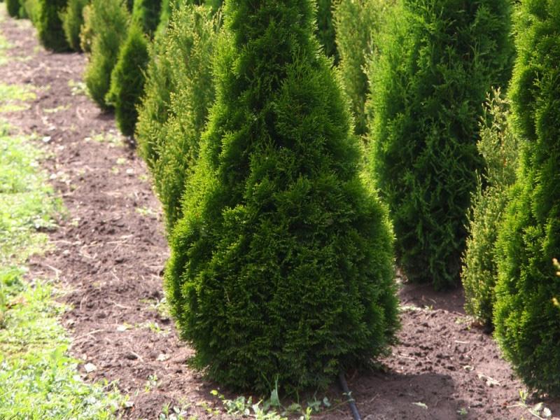 Хвойные растения: можжевельник и туя для сада: Туя западная «Смарагд»