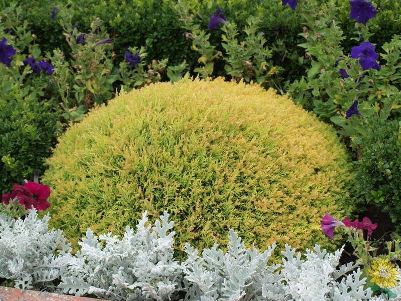 Хвойные растения: можжевельник и туя для сада: Туя западная «Рейнголд»