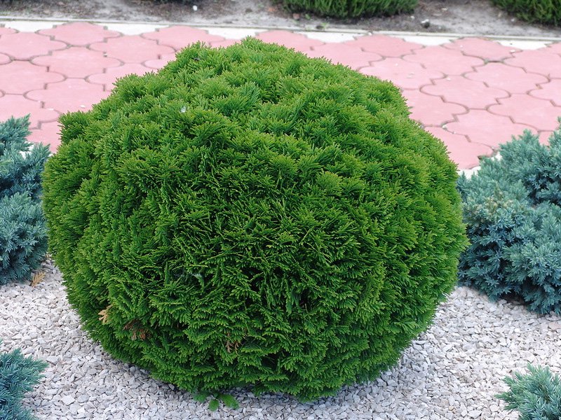 Хвойные растения: можжевельник и туя для сада: Туя западная «Даника»