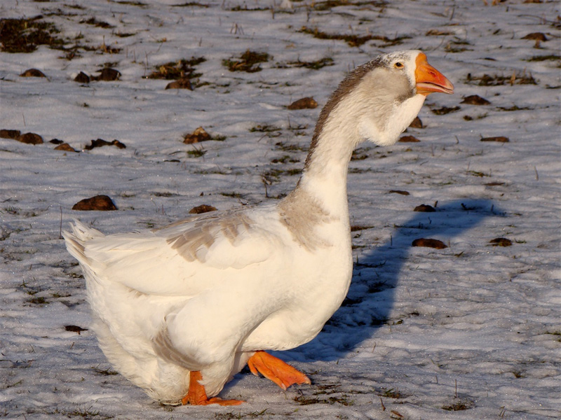 Холмогорские гуси: описание и характеристика породы