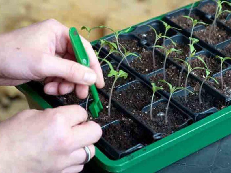 Пикировка томатов — получения хорошей рассады
