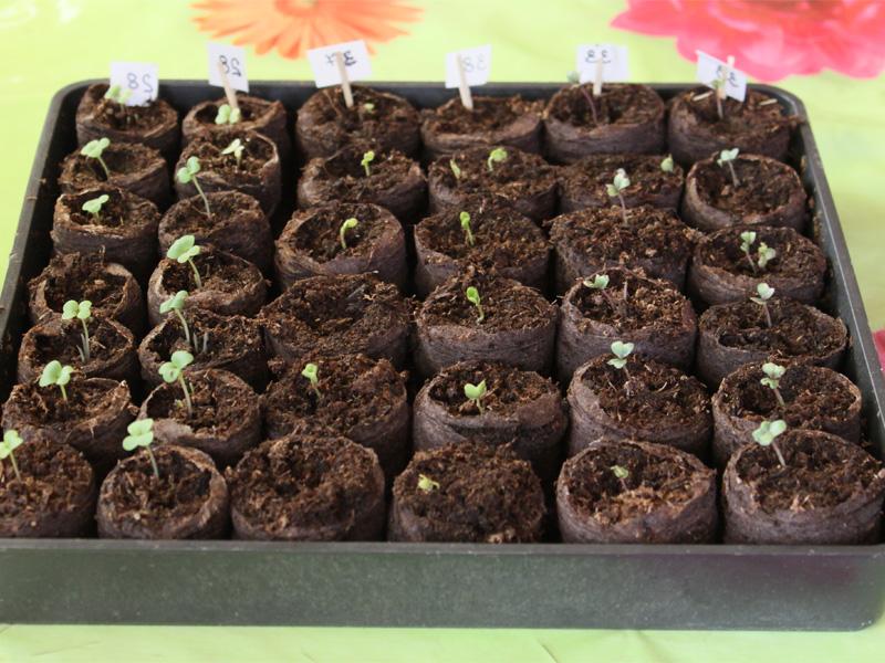 Посадка помидор на рассаду в домашних условиях и проращивание семян в земле