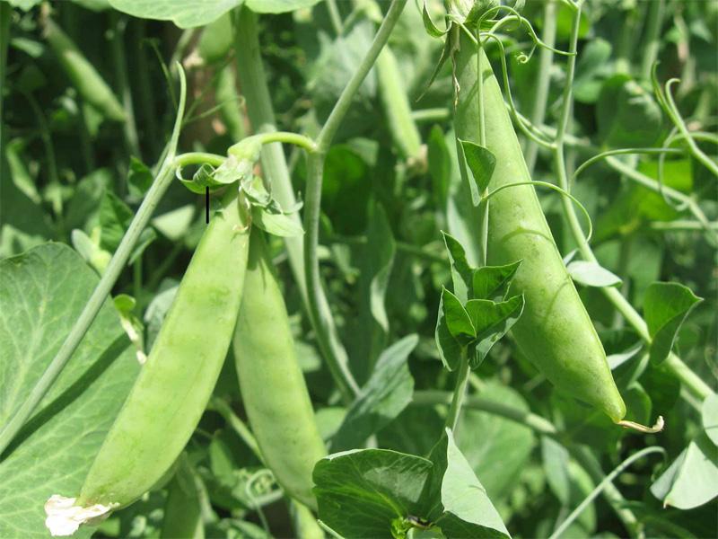 Как вырастить фасоль от подготовки семян до сбора урожая