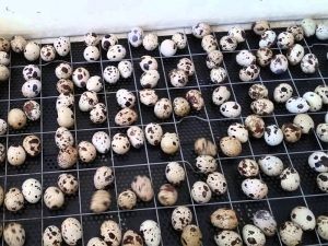 Как инкубировать перепелиные яйца самостоятельно дома