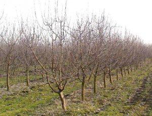Плодовые деревья для дачи