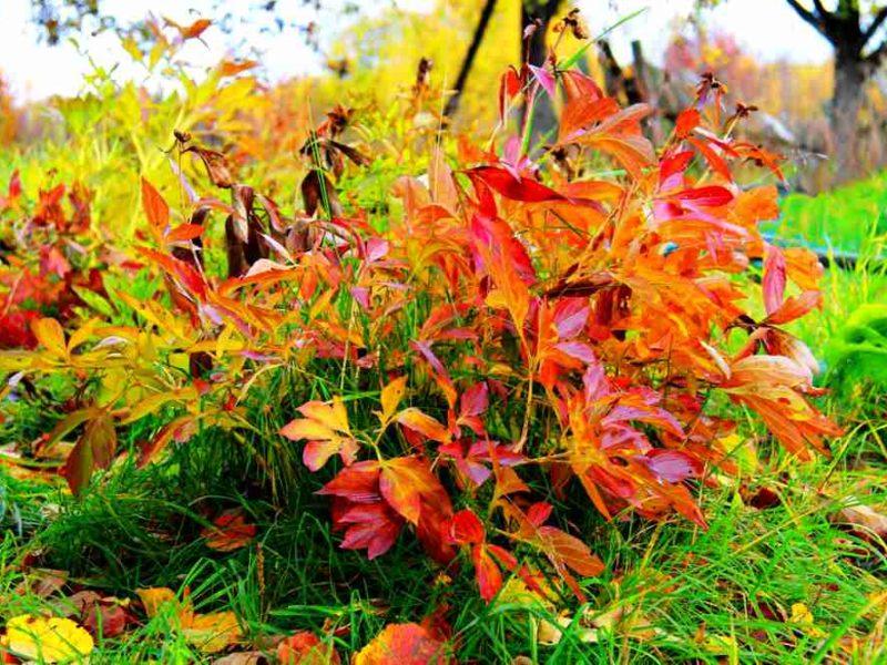 Уход за пионами осенью: подготовка к зиме