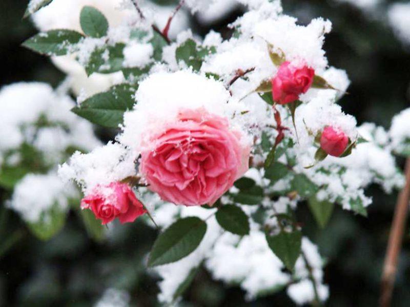 Уход за розами осенью: подготовка к зиме