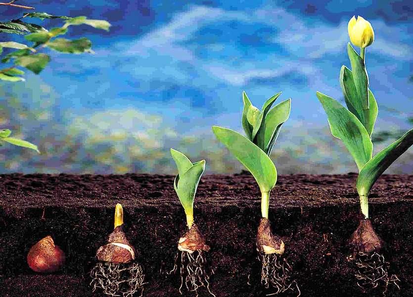 Вегетационный период тюльпанов