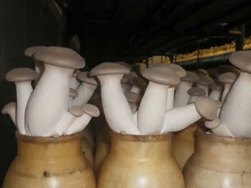 Сбор урожая выращенных белых грибов дома
