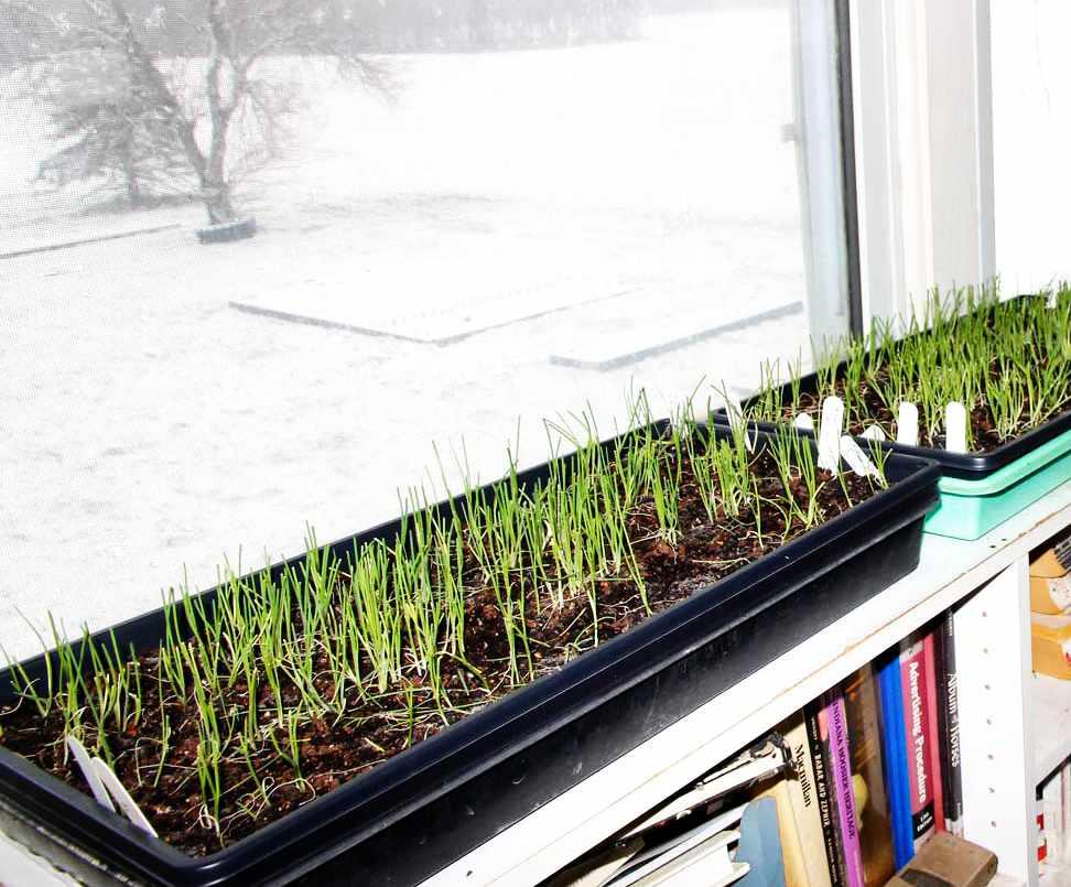 Выращивание зелени на подоконнике зимой