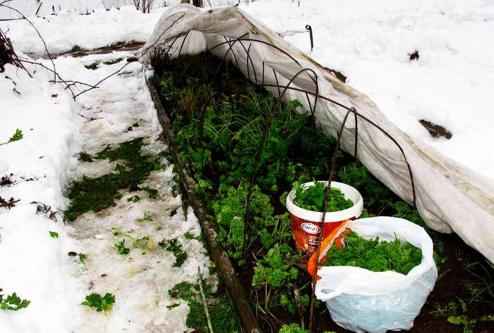 Выращивание зелени в теплице зимой