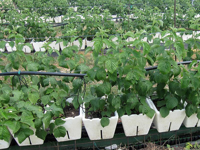 Посадка малины весной саженцами в открытый грунт