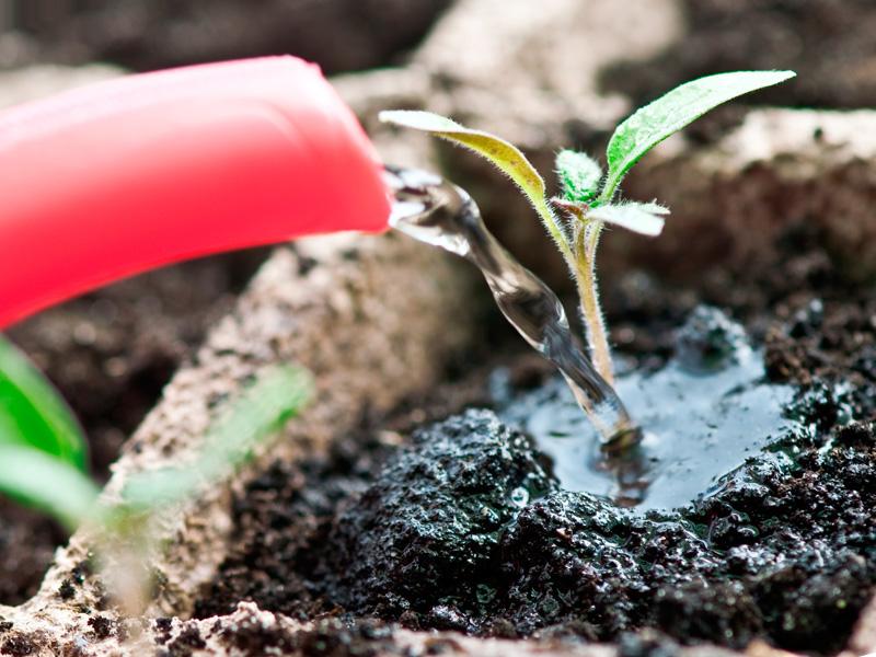Чем лучше подкормить рассаду во время полива растения