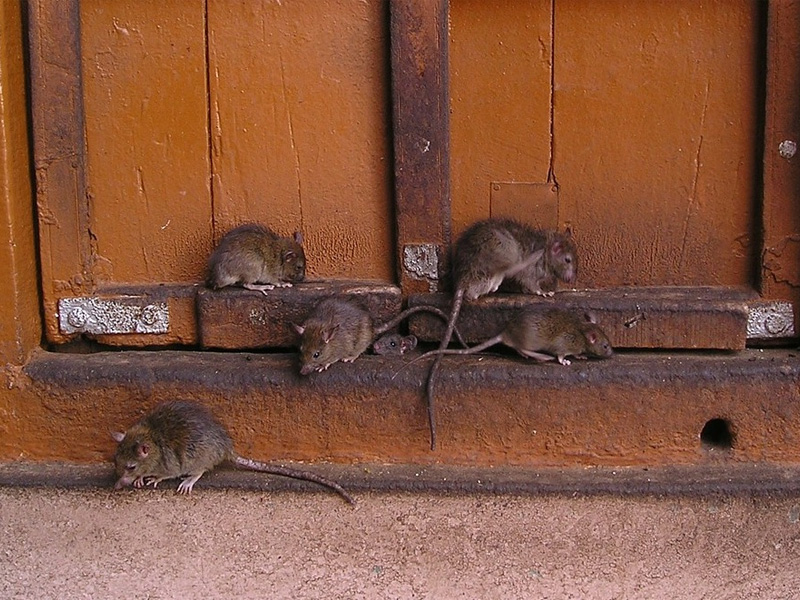 Как избавиться от крыс в придомовом сарае