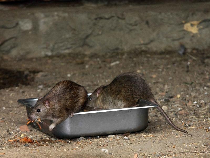 Как избавиться от крыс и способы борьбы с грызунами