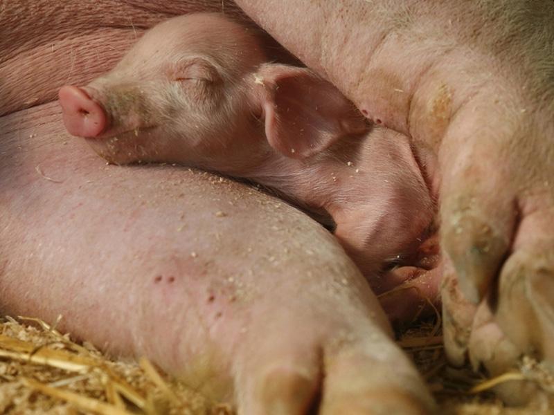 Крупная белая порода свиней и правила содержания в хлеву