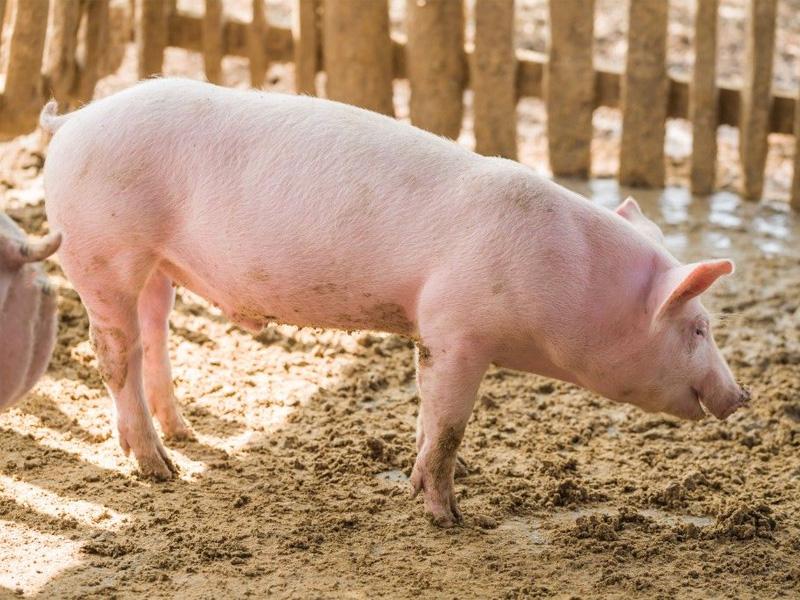 Крупная белая порода свиней русской разновидности