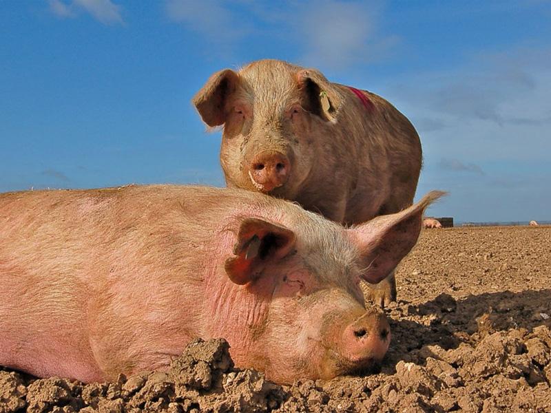Крупная белая порода свиней сибирского происхождения