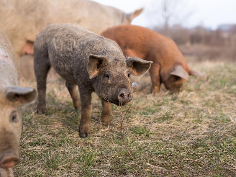 Сальные породы свиней и особенности разведения на приусадебном участке