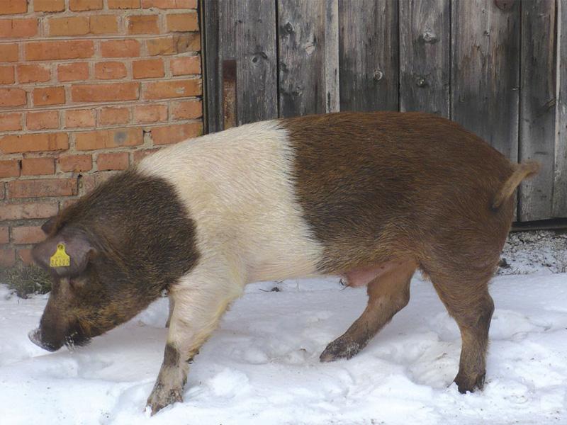 Сальные породы свиней и отличия краснопоясых свиней