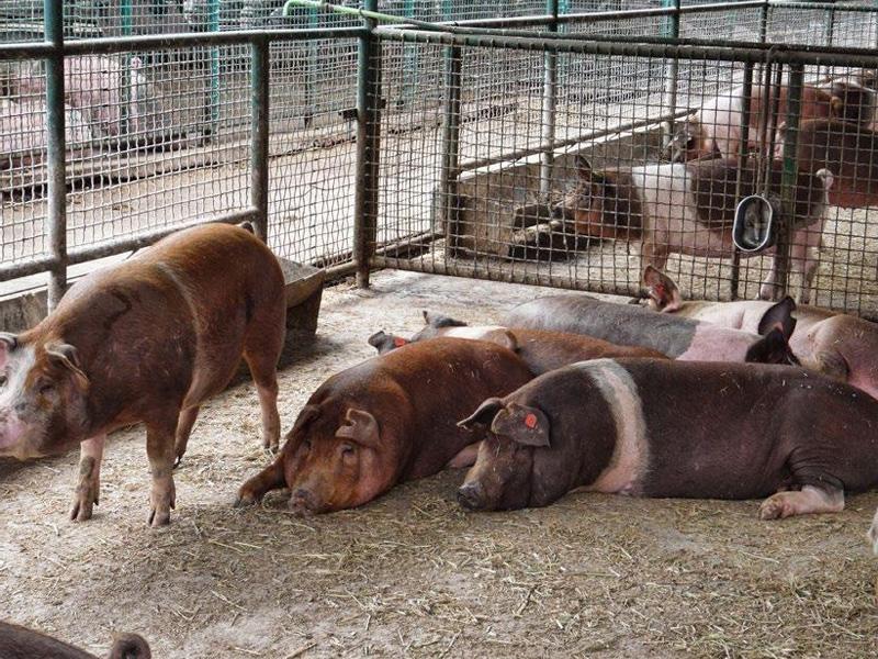 Сальные породы свиней и особенности разведения краснопоясых свиней