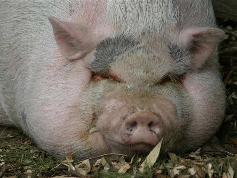 Сальные породы свиней и почему нужная миргородская порода
