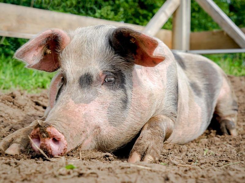 Сальные породы свиней и разведение на даче