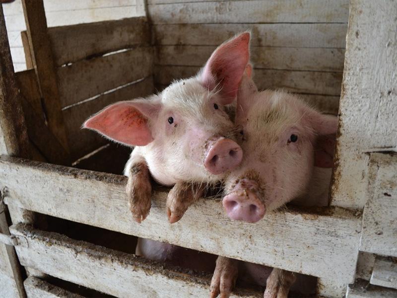 Беконное свиноводство и разведение канадской породы