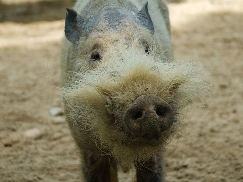 Беконное свиноводство и бородатая свинья Альба