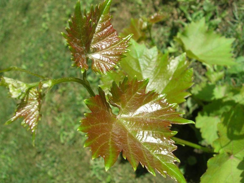 Болезни винограда на листьях