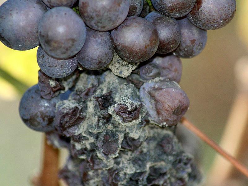 Болезни винограда на плодах