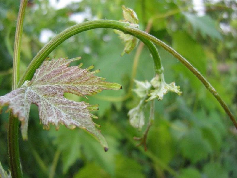 Болезни винограда и защита от вредителей