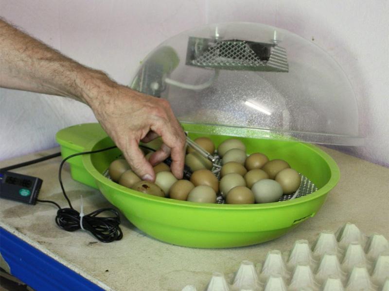 Фазан. Инкубация яиц и правильный выбор инкубатора